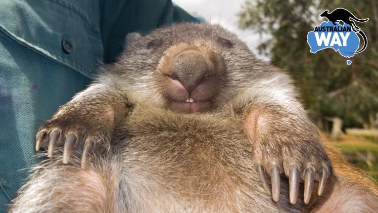 wombat. estudia y trabaja en australia. australianway.es estudiar en australia. estudiaenaustralia.es