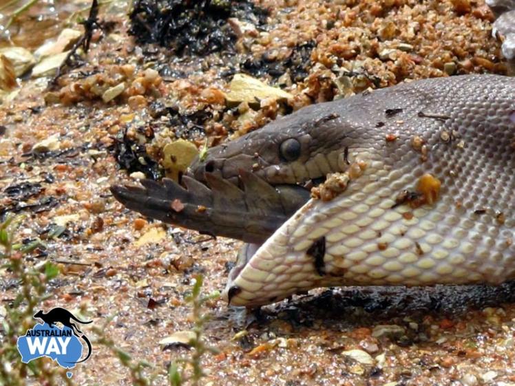 Australia. serpiente comiendose a un cocodrilo, estudia en australia. australianway.es. estudiaenaustralia.es