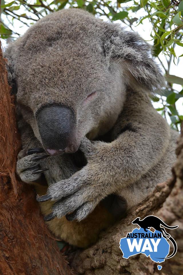 estudia en australia, estudiar en australia, australianway.es, estudiaenaustralia.es, koala, baby koala, lunes australia