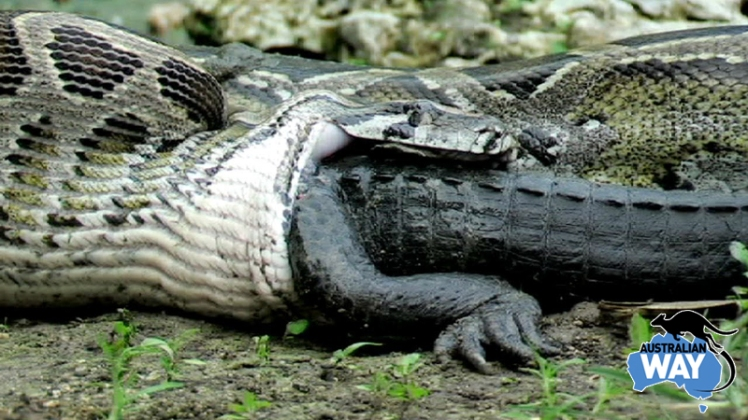 serpiente comiendose a un cocodrilo, estudia en australia. australianway.es. estudiaenaustralia.es