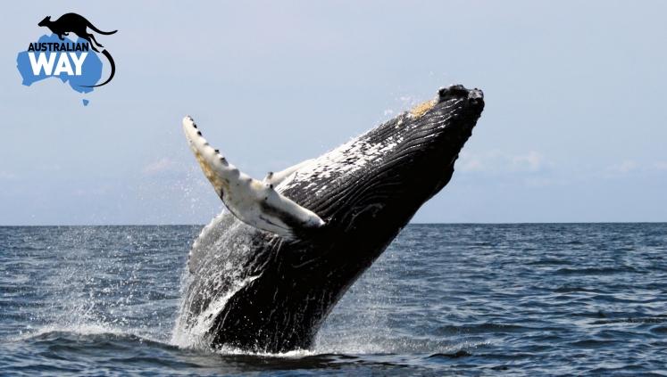 ballenas saltando, estudiar en australia, estudia en australia, australianway.es, estudiaenaustralia.es, diving with whaves, buceando con ballenas