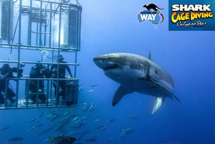 bucear con el tiburon blanco, white shark cage diving, estudiar en australia, estudia en australia, australianway.es, estudiaenaustralia.es