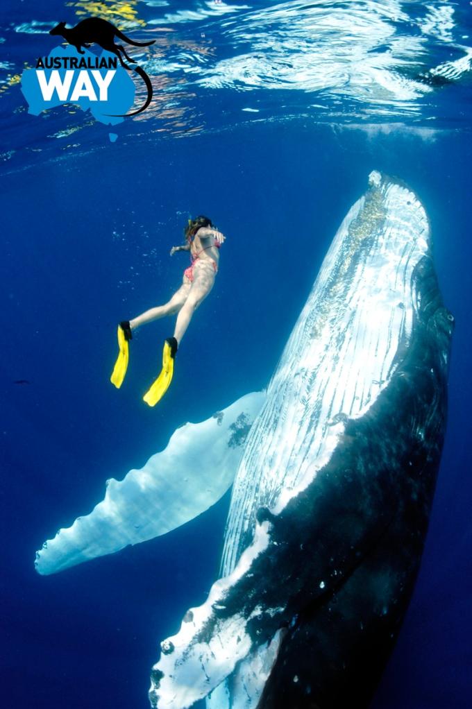 la caza de ballenas en japon, estudiar en australia, estudia en australia, australianway.es, estudiaenaustralia.es, diving with whaves, buceando con ballenas (2)
