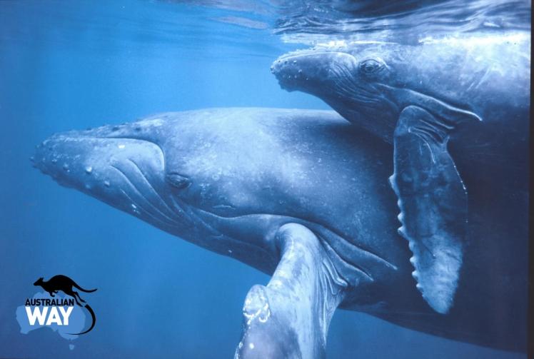 la caza de ballenas en japon, estudiar en australia, estudia en australia, australianway.es, estudiaenaustralia.es, diving with whaves, buceando con ballenas, whale baby