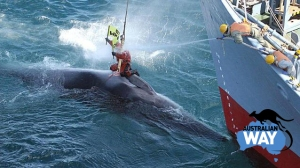 la caza de ballenas en japon, estudiar en australia, estudia en australia, australianway.es, estudiaenaustralia.es