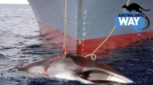 Se prohibe la caza de ballenas japon, estudiar en australia, estudia en australia, australianway.es, estudiaenaustralia.es, diving with whaves, buceando con ballenas