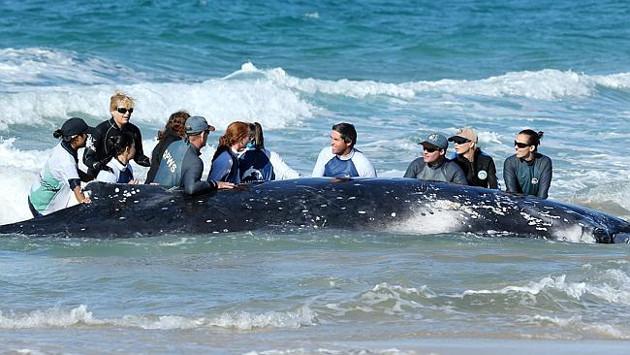 ballena rescatada en australia, ballena varada en australia, estudiar en australia, estudiarenaustralia.es, australianway.es