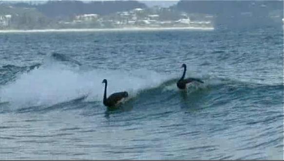 cisnes surfeando en Australia gold coast, surf australia, estudiar en australia, estudia en australia, australian way, estudiaenaustralia