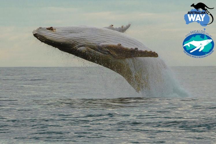 migaloo the white wale, australia, ballenas, estudiar en australia, australianway.es, estudiarenaustralia.es, ver ballenas en australia